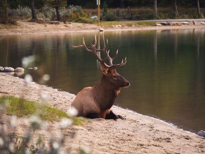 Stunning Moose