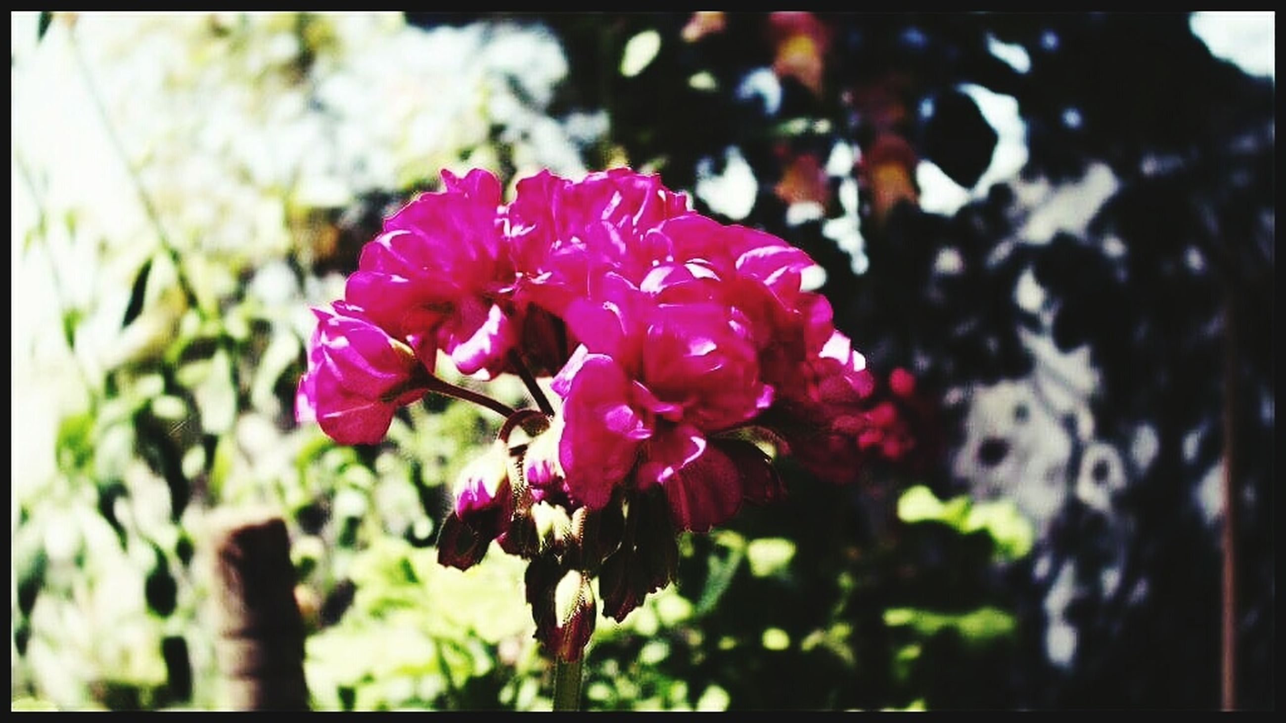 flower, petal, transfer print, freshness, fragility, growth, pink color, focus on foreground, flower head, beauty in nature, close-up, blooming, auto post production filter, nature, plant, in bloom, park - man made space, selective focus, day, blossom