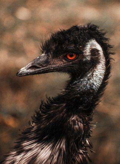 Ostrich Animal