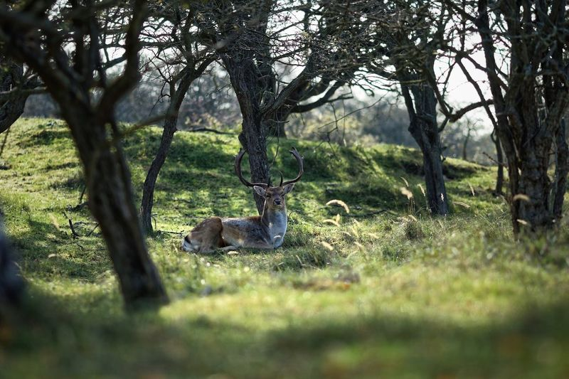 Resting after the action Buck Rut Testosterone In The Shadows Fallow Deer Plant Tree Grass Nature No People Growth Field Beauty In Nature