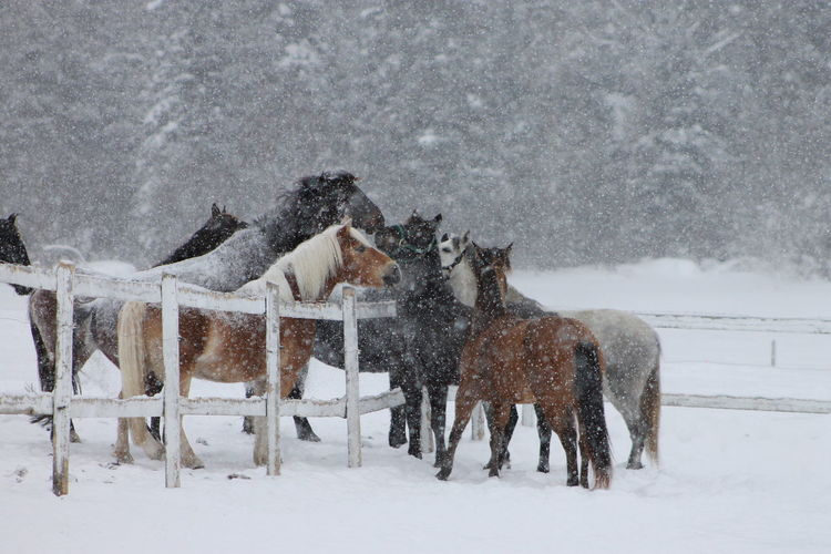 Panoramic view of horses during winter
