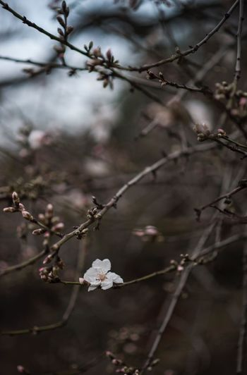 Plant Flower Flowering Plant Growth Beauty In Nature Tree Fragility Focus On Foreground Freshness Branch Twig Springtime Nature Close-up Blossom Day Selective Focus No People Outdoors Vulnerability