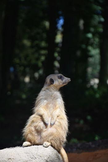 EyeEm Selects Meerkat Close-up