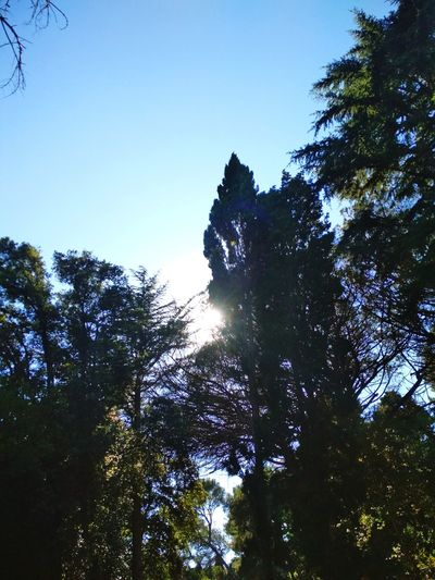 Tree Tree Area Forest Branch Clear Sky Pinaceae Pine Tree Silhouette Sky Growing WoodLand Shining Tree Trunk Woods Young Plant