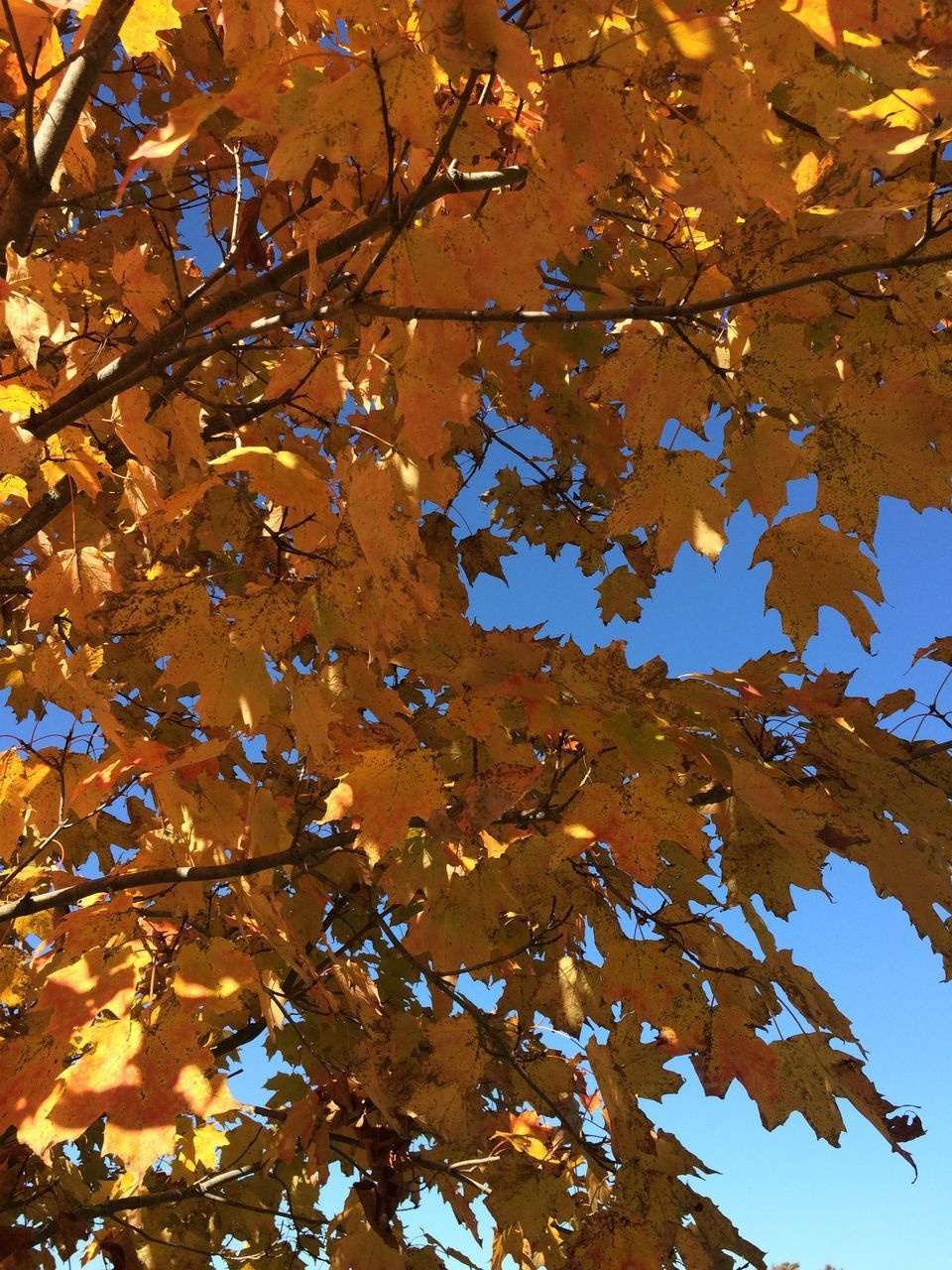leaf, plant part, tree, autumn, branch, plant, change, low angle view, beauty in nature, growth, nature, no people, day, maple leaf, leaves, tranquility, sky, outdoors, maple tree, backgrounds, natural condition, fall