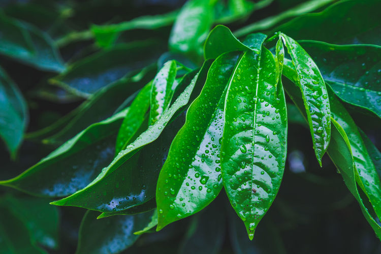 Closeup tropical nature view of ylang-ylang green leaf with rain drop after rain fall
