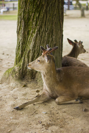 Nara, May 2017 Buddha Deer Great Buddha Hal Japan Kasuga-taisha Kofuku-ji Koufuku-ji Nara Nara Park Nara,Japan Shinto Shrine Todai-Ji Toudaiji UNESCO World Heritage Site Vairocana Buddhist Temple Daibutsuden Deer Of Nara Todaiji 大仏殿 奈良市 春日大社 東大寺 興福寺
