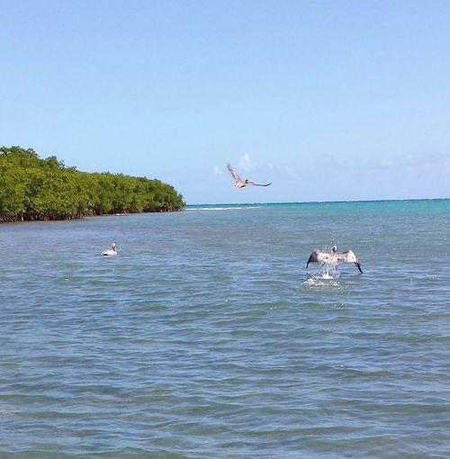 ...again portrait of a pelican....lol..well sorry pelicans! Taking Photos Natureat Isla Culebra , Puerto Rico