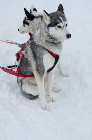 Animal Themes Cold Temperature Day Dog Domestic Animals Finland Full Length Husky Lapland Mammal Nature No People One Animal Outdoors Pets Siberian Husky Sled Dog Snow Winter