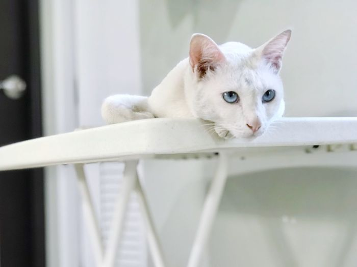 Animal Eye Cat Domestic Animals Domestic Cat No People One Animal Pets Photography Portrait Relaxation White Color