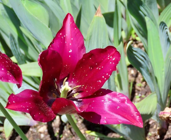 Springtime decadence tulip flowering plants brightly colored petals beauty in nature outdoors closeup Plant Growth Springtime Decadence Springtime Decadence