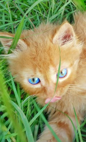 Kitten Cat Feline American Bobtail Cat Bobtail Bobtail Cats Cat Lovers Cats Of EyeEm Cat Photography Blue Eyes Orange Color Orange Tabby Cat Cute Kittens Manix Cat Manix No Tail No Tail Cat Playing In The Grass