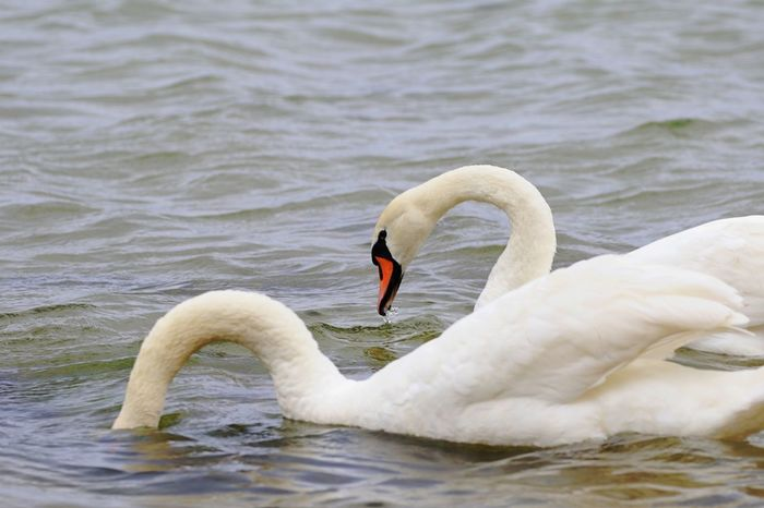 Swans Animal Themes Animal Wildlife Animals In The Wild Aquatic Beak Bird Day Floating On Water Lake Nature No People Outdoors Swan Swimming Water Water Bird White Color