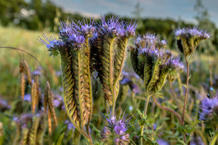 Close-up of phacelia growing on field