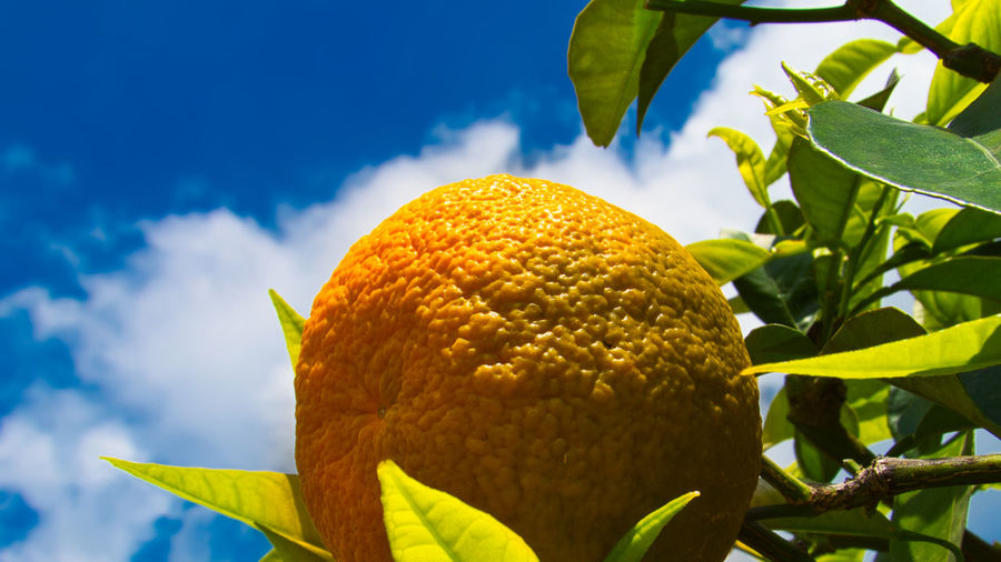 Low angle view of lemon growing on tree against sky