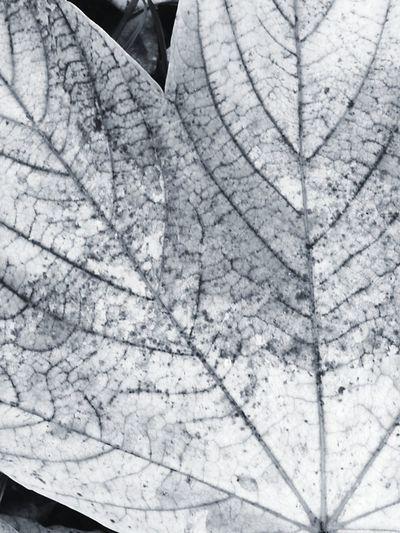 Leaf Vein Textured  Full Frame Pattern Close-up Backgrounds Leaf No People