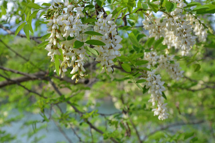Acacia Flower. Fiori di Acacia. Acacia Beauty In Nature Blooming Blossom Botany Branch Cherry Tree Close-up EyeEm Nature Lover Flower Flower Head Focus On Foreground Fragility Freshness Growth In Bloom Nature Petal Plant Selective Focus Showcase April Tree Twig White White Color