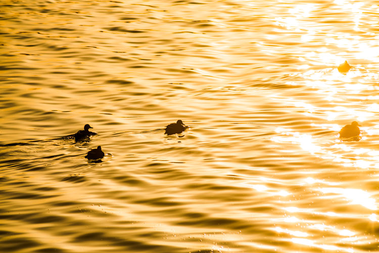 Bright Gold Golden Tranquility Animal Themes Animals In The Wild Bird Day Ducks Gold Colored Gold Colour Illuminated Nature No People Orange Color Outdoors Reflection Rippled River Sunset Swimming Water