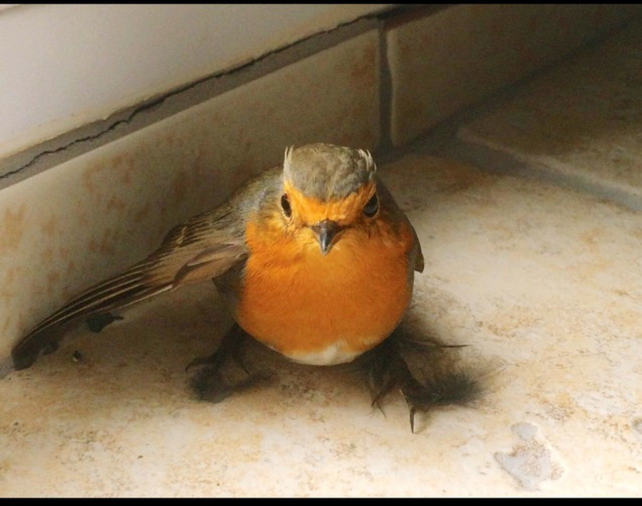 one animal, animal themes, bird, animals in the wild, robin, food, no people, looking at camera, close-up, animal wildlife, indoors, sparrow, portrait, day, nature, perching