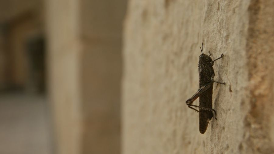 Locust at Poblet Monastery, Catalunya. SONY Alpha350 Sony A350 Insect Animal Themes Close-up Animal Wildlife Nature One Animal Stone Stone Wall Textures And Surfaces Nature Texture Locusts Animal