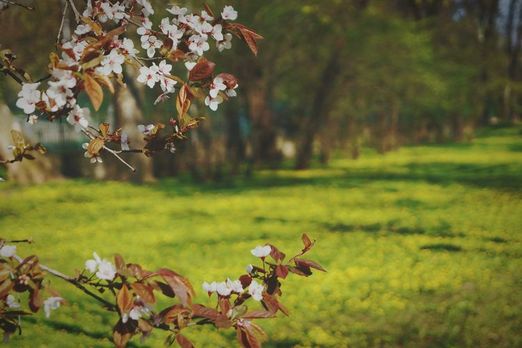 Nature Springtime No People Beauty In Nature Fragility Close-up Cherry Blossom Outdoors Day Flower Flower Head Freshness Tree Sunlight EyeEm Nature Lover Blossom Time🌺 Springtime💛 Freshness Agriculture Scenics Backgrounds Field Full Frame Grass Tree Trunk, Tree, Fallen Tree