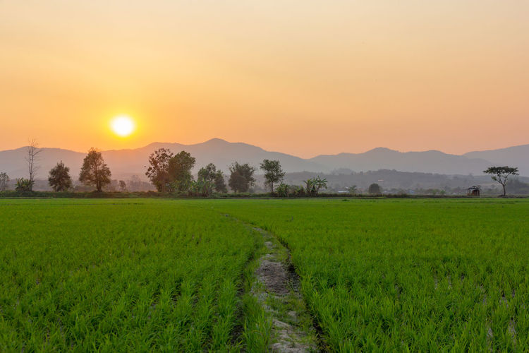 Landscape of Green rice field with mountain on background in sunset Sunset Scenics - Nature Beauty In Nature Tranquility Sky Landscape Tranquil Scene Plant Field Environment Agriculture Land Sun Rural Scene Growth Orange Color Green Color Grass Farm Nature No People Outdoors