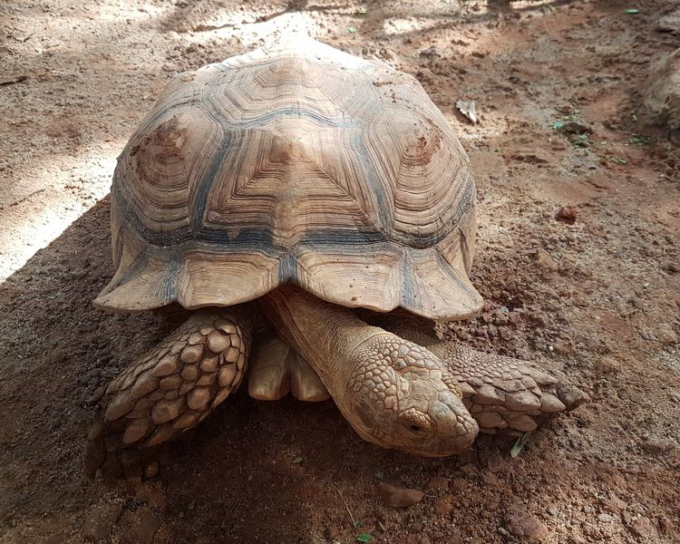 Large African Spurred Tortoise/ Sulcata Tortoise close-up Eyes Feet Scales Scaly Beautiful Beauty In Nature Animal Gentle Giant Brown African Animals African Spurred Tortoise Sulcata Tortoise Giant Animal Encounters Close Up Tortoise Shell Tortoise Sand Close-up Animal Shell Reptile Slow Shell EyeEmNewHere