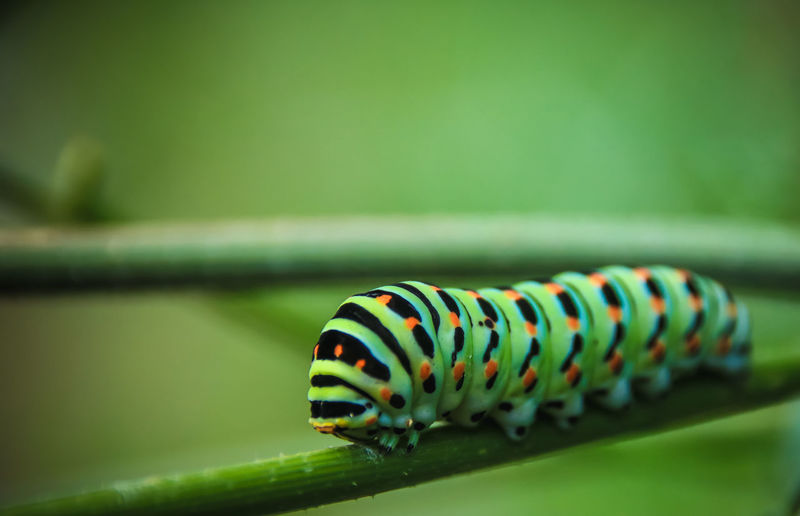 Caterpillar Caterpillars🐛🐛clinging One Animal Close-up Animal Insect Animal Themes Green Color Animal Wildlife Animals In The Wild Invertebrate Focus On Foreground No People Selective Focus Animal Markings Day Nature Outdoors Striped Beauty In Nature Animal Body Part Stem Green Beauty In Nature Colors Colored