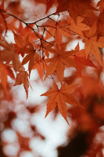 Falling EyeEmNewHere Photography Photo Eyeem Photography Photoseller Photooftheday Maple Tree Branch Maple Leaf Beauty Book Cover Leaf Autumn Hockey Change Autumn Collection Leaf Vein Fallen Dry Fall Leaves