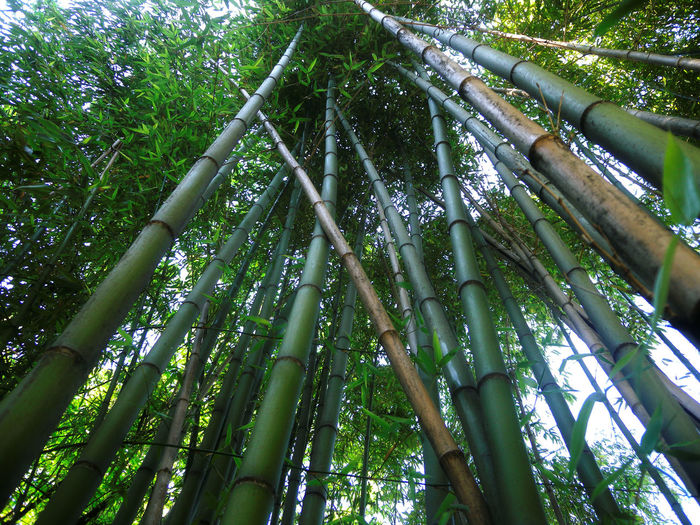Bamboo Bamboo - Plant Bamboo Forest Bamboo Grove Beauty In Nature Botanical Gardens Day Forest Freshness Garden Green Green Color Green Color Growth Low Angle View Nature No People Outdoors Plants Plants And Flowers Tranquility Tree