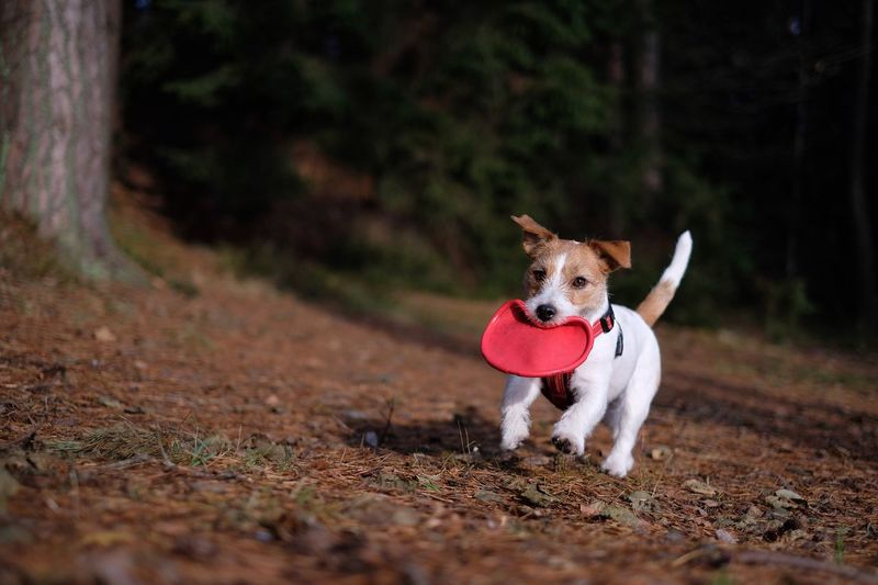 Jack Russell terrier is running with frisbee. Dog Pets Domestic Animals One Animal Animal Themes Mammal No People Portrait Outdoors Nature Day Looking At Camera Panting Frisbee Frisbee Dog Jrt Dog Outside Jack Russell Terrier Jackrussellterrier Running Dog Jack Russell Autumn Colors Nature Tree