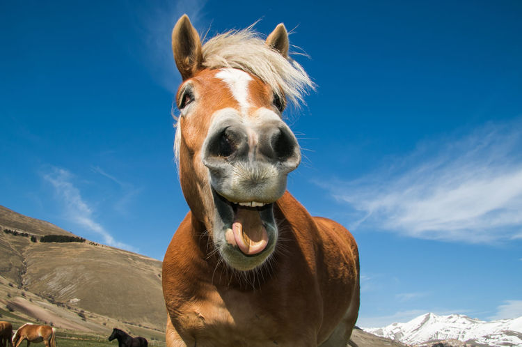 Funny portrait of smiling horse against the blue sky Castelluccio Di Norcia Dentist Dentistry Farm Funny Horses Mustang Rural Stallion Calendar Crazy Crazy Animals  Cute Equestrian Equine Horse Mammal Mane Open Mouth Portrait Smiling Teeth Tongue Wallpaper Western