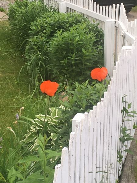 Flower Growth Plant Green Color Front Or Back Yard Outdoors Leaf Nature Day Beauty In Nature No People Freshness Petal Flower Head Red Fragility Built Structure Blooming Poppy Building Exterior