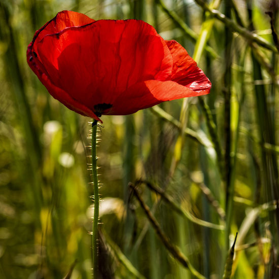 Poppy Beauty In Nature Close-up Day Flower Flower Head Focus On Foreground Fragility Freshness Growth Nature No People Outdoors Plant Poppy Red Wheat Wheat Field