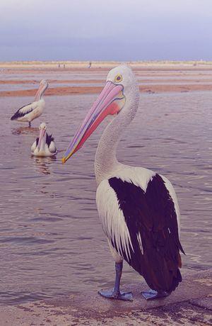 Australia Portstephens Pelican Bird Animals In The Wild Animal Themes Animal Wildlife One Animal Lake Water No People Outdoors Beauty In Nature Model Neon Life