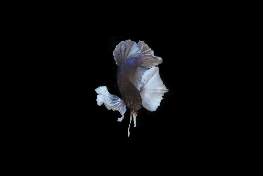 Big ear Siamese fighting Betta fish Animal Animal Themes Animal Wildlife Animals In The Wild Beauty In Nature Bird Black Background Close-up Copy Space Cut Out Flying Indoors  Motion Nature No People One Animal Spread Wings Studio Shot Vertebrate White Color