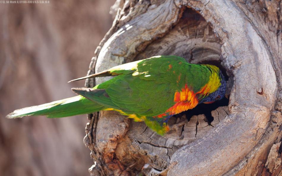 Trichoglossus Moluccanus Trichoglossus Rubritorquis Parrot Parrots Rainbow Lorikeet Rainbow Lorikeets Red Collared Lorikeet