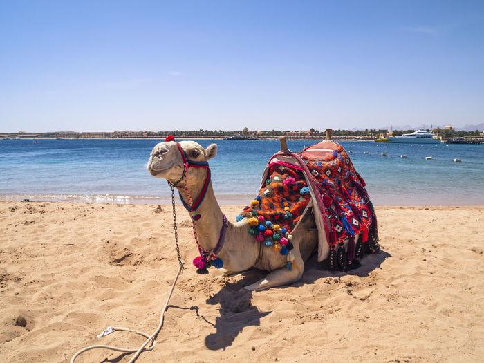 Sea, Arabian Beach Camel Day Domestic Animals Dromedary Egypt Nature No People One Animal Outdoors Sand Summer Travel