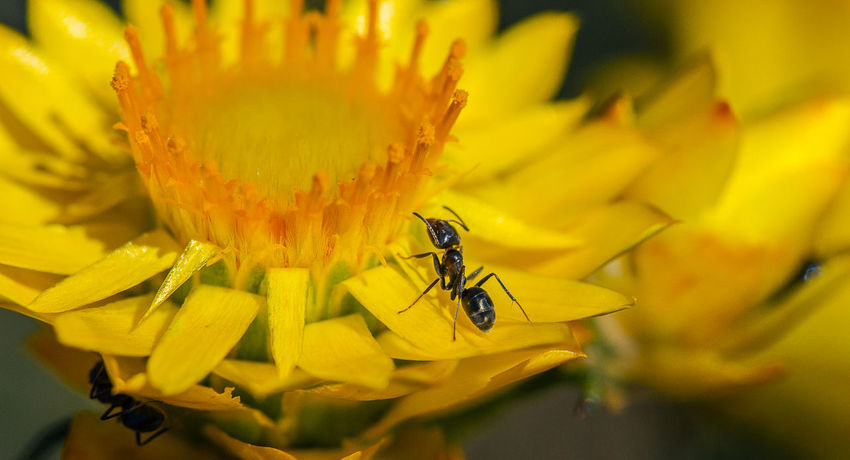 Meat Ants (Iridomyrmex purpureus) on a Golden Everlasting Daisy Macro Macro Photography Meat Ant Ant Flower Insect Flowering Plant Animals In The Wild Animal Flower Head Plant Pollen Outdoors Freshness Petal Yellow Close-up Beauty In Nature Daisy Paper Daisy