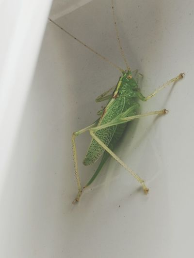 Insect Animal Wildlife Animals In The Wild Animal Themes Green Color One Animal No People Close-up Day Nature Outdoors Damselfly Share Your Adventure Live For The Story England Countryside Connected With Nature Beauty In Nature Reflection Grasshopper English Wildlife Bugs Neon Life EyeEmNewHere Pet Portraits