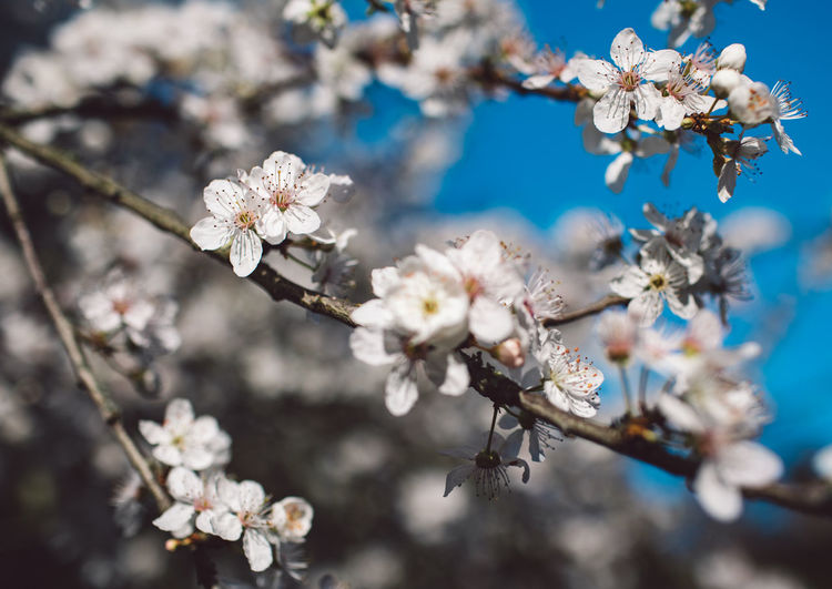 Flowering Plant Flower Plant Fragility Vulnerability  Freshness Beauty In Nature Blossom Growth Springtime Close-up Tree Branch Nature White Color Cherry Blossom Petal Day Inflorescence Flower Head No People Pollen Cherry Tree Outdoors Spring