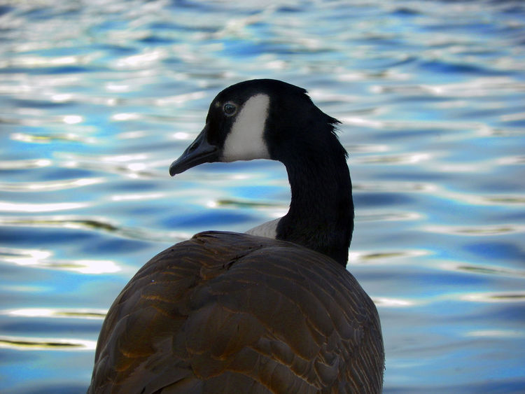 THE THINKING GOOSE by Jeff Stackhouse Original art Copyright 2017 Animal Themes Animals Animals In The Wild Bird Birds Blue Canada Canada150 Canadian Goose Disney Geese Goose Love Love Wins Love ♥ Lovelovelove Lovely Marvel Nofilter Original Rare Vip Water Waterfront WOW