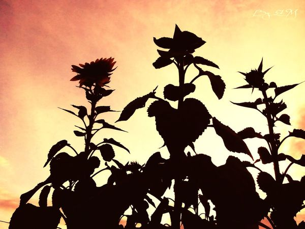 Silhouettes Skin Of The Night Flor Para Ti Flowers Nature Puebla Garden Of Everyting To You Photography Girasol #flor #amarillo #sunflower #flower #yellow