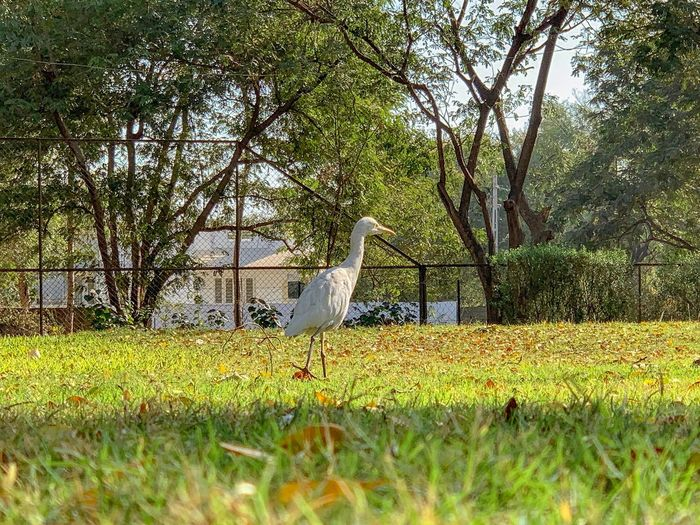 Great egret Plant Bird Grass Animal Themes Tree No People Vertebrate Animal Growth Field Day Animals In The Wild Animal Wildlife Nature Green Color One Animal Beauty In Nature Outdoors