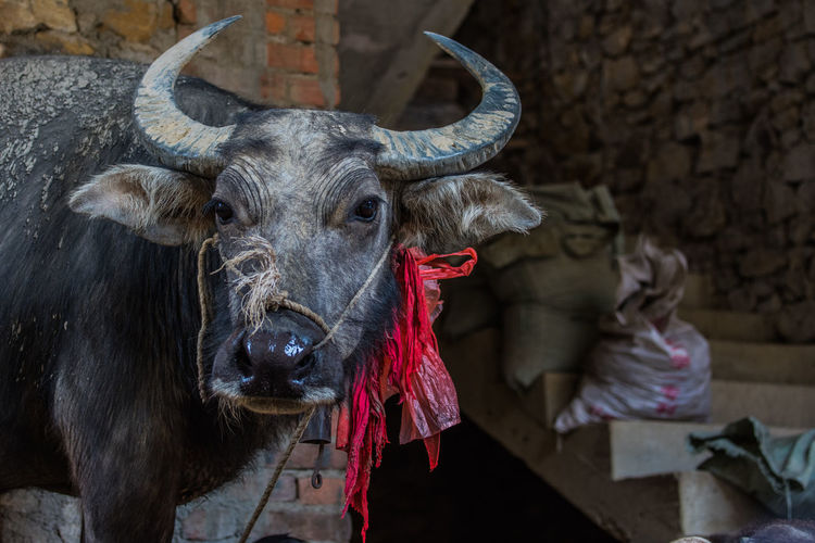 Close-up of a buffalo at farm