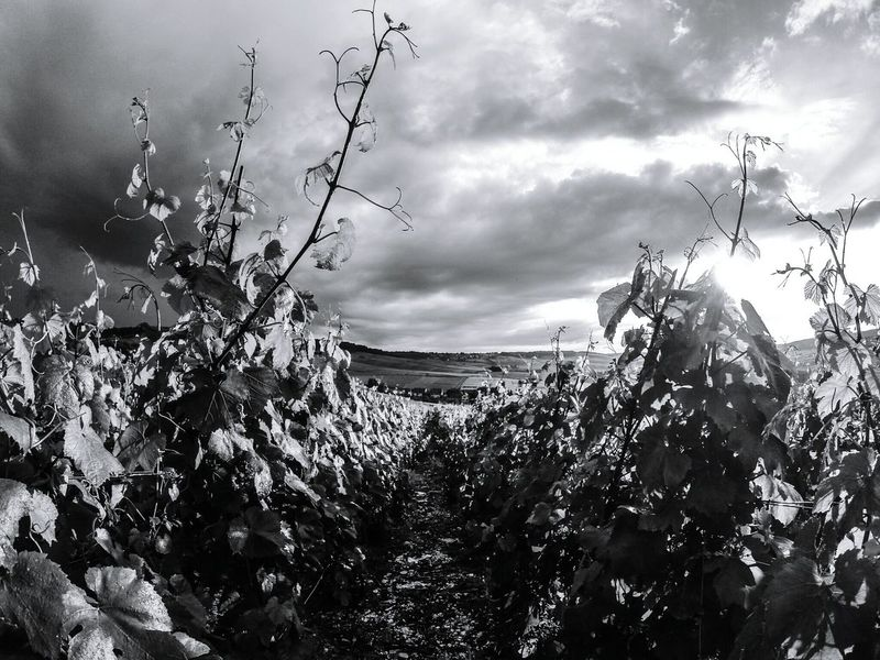 Champagne France Nature Photography Naturelovers Blackandwhite Photography Nature_collection Blackandwhite Black And White Black And White Photography Black & White No People France Champagne Vivelafrance EyeEm Best Shots Wine Grapes Green Grapes Skyporn No Person Grapes Wine Sun