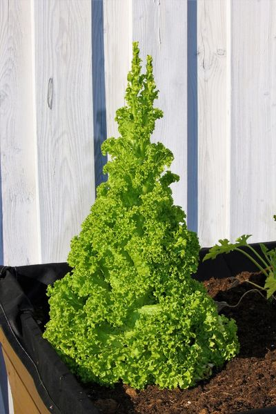 Salad in the garden Food Food Garden Food Salad Food Salad Garden Freshness Garden Photography Gardening Nature Plant Salad Salad Garden Salad Vegetable