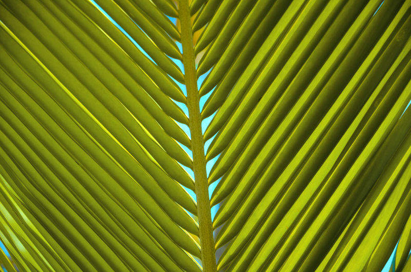 V for nature EyeEm Nature Lover Nature Photography Palm Leaf Backgrounds Beauty In Nature Botany Close-up Frond Full Frame Green Color Growth Leaf Leaves Natural Pattern Nature No People Outdoors Palm Leaf Palm Tree Pattern Plant Plant Part Tree Tropical Climate Tropical Tree