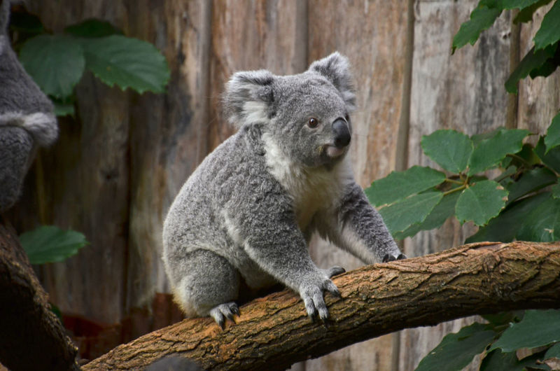 Close-up of koala bear sitting on tree