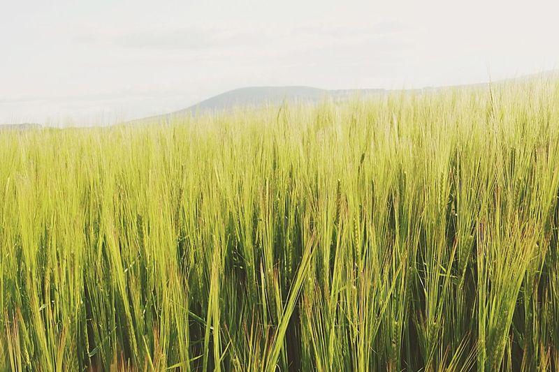 Scotland Barley